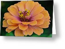 Orange Zinnia_9475_4267 Greeting Card