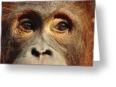 Orangutan Eyes Borneo Greeting Card