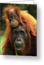 Orangutan Pongo Pygmaeus Female Greeting Card