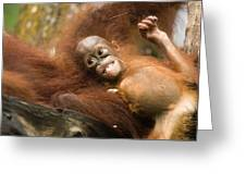 Orangutan Pongo Pygmaeus.  Juvenile Greeting Card