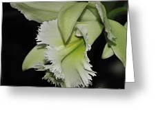 orchid 900 Brassolaeliocattleya Ruben's Verde Chantilly Green Greeting Card