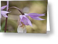 Orchid Calypso Bulbosa - 1 Greeting Card