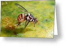 Oriental Fruit Fly Laying Eggs Greeting Card
