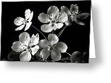 Ornamental Pear In Black And White Greeting Card