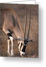 Oryx Oryx Beisa, Samburu National Greeting Card