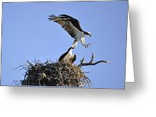 Osprey Coming In For A Landing Greeting Card