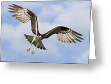 Osprey In Flight One Greeting Card