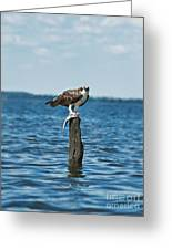 Osprey With Catch. Greeting Card