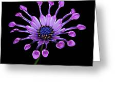 Osteospermum Greeting Card