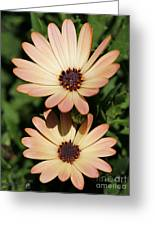 Osteospermum Named Sunadora Palermo Greeting Card