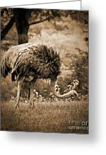 Ostrich Greeting Card by Arne Hansen