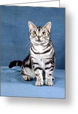 Outstanding American Shorthair Cat Greeting Card