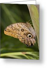 Owl Butterfly Caligo Idomeneus Resting Greeting Card