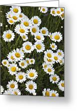 Ox-eyed Daisies, Banff National Park Greeting Card