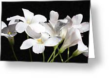 Oxalis Flowers 2 Greeting Card