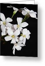 Oxalis Flowers 3 Greeting Card