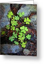 Oxalis Greeting Card