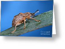 Oxyops Vitiosa Leaf Weevil On Melaleuca Greeting Card