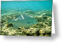 Pacific Chub 1080113.jpg Greeting Card