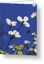 Pacific Dogwood Blossoms Cornus Greeting Card