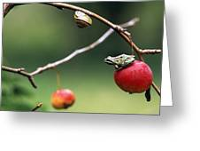 Pacific Tree Frog On A Crab Apple Greeting Card