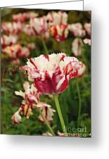 Painted Candy Cane Tulip Greeting Card