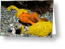 Painted Frogfish On Sponges Greeting Card