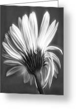 Painted Gerbera Daisy In Black And White Greeting Card