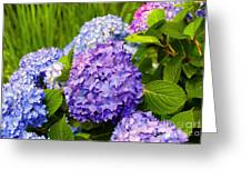 Hydrangea In Garden - Painted Greeting Card