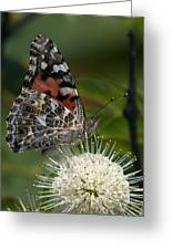 Painted Lady Butterfly Din049 Greeting Card