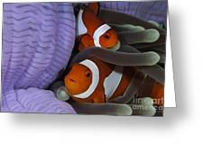Pair Of Clown Anemonefish, Indonesia Greeting Card