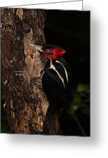 Pale-billed Woodpecker Greeting Card