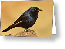 Pale-winged Starling Greeting Card