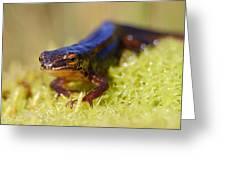 Palmate Newt  Greeting Card