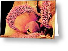 Pansy Flower, Sem Greeting Card by Susumu Nishinaga