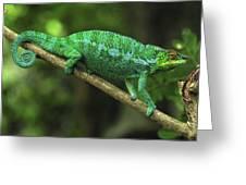 Panther Chameleon Chamaeleo Pardalis Greeting Card