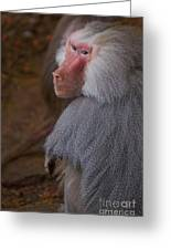 Papio Hamadryas Baboon Greeting Card