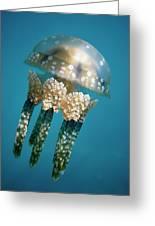 Papuan Jellyfish Mastigias Papua, Palau Greeting Card