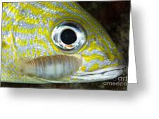 Parasitic Isopod On Grunt, Belize Greeting Card
