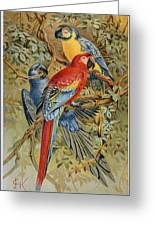 Parrots: Macaws, 19th Cent Greeting Card