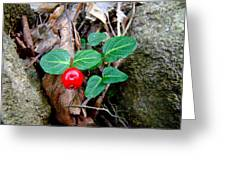Partridge Berry Berry - Mitchella Repens Greeting Card