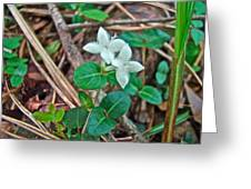 Partridge Berry Flower - Mitchella Repens Greeting Card