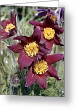 Pasque Flower (pulsatilla Vulgaris) Greeting Card