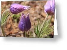 Pasqueflowers Greeting Card