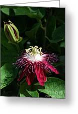 Passion Flower Greeting Card by Eva Kaufman