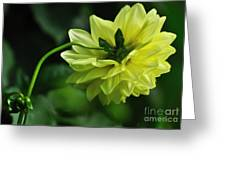 Pastel Lemon Dahlia 2 Greeting Card