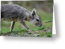Patagonian Cavy Youngin Greeting Card
