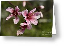 Peach Blossom Clusters Greeting Card