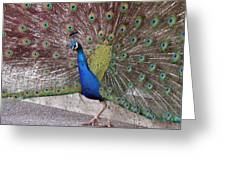 Peacock - 0013 Greeting Card