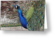 Peacock - 0014 Greeting Card